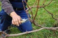 Когда обрезать виноград: сроки весенней, летней и осенней обрезки