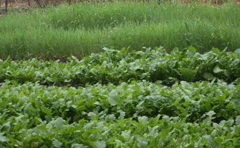Зеленые удобрения сидераты для приусадебного участка