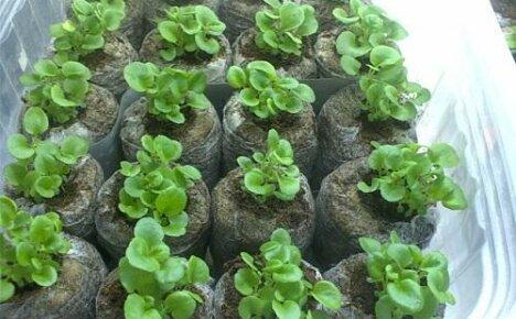 Как сажать петунию на рассаду в торфяные таблетки?