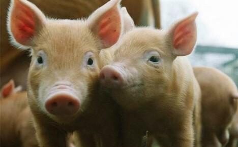 Комбикорм для маленьких поросят и взрослых свиней
