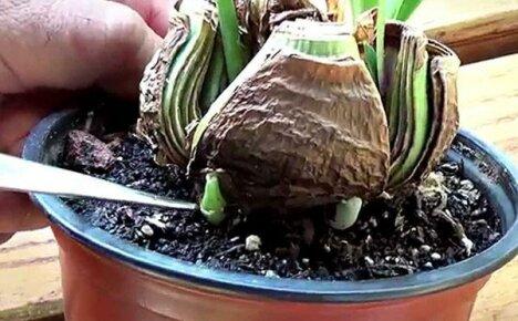 Оригинальный способ размножения гиппеаструма делением большой луковицы