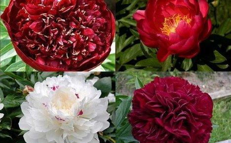 Ранние пионы: роскошные экспонаты сада