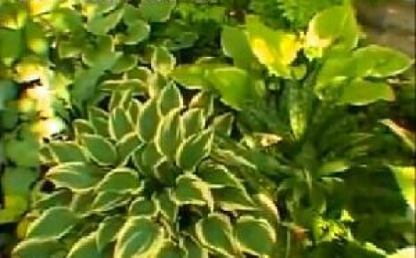 Все о хостах – декоративных цветах для дачных клумб (видео)