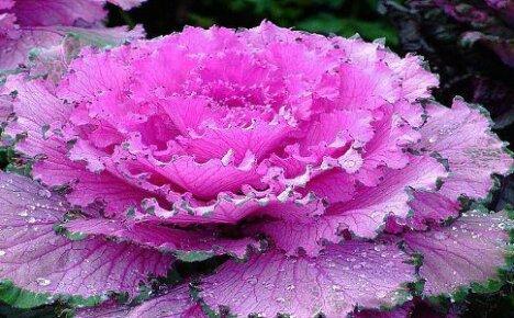 Декоративная капуста — выращивание и уход