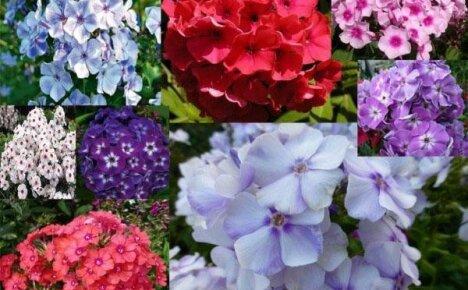 Лучшие сорта флоксов для яркого цветника