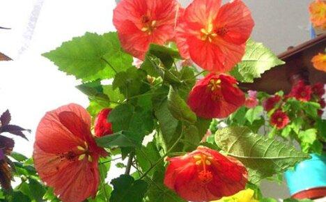 Заболел абутилон комнатный. Как помочь растению?
