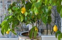 Как ухаживать за лимоном, чтобы он плодоносил дома