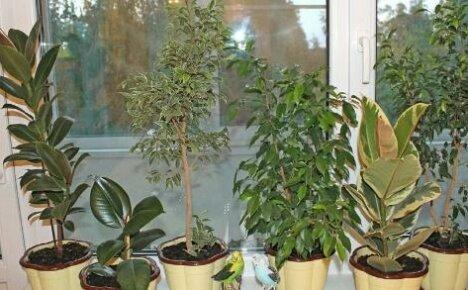 Грамотный уход за фикусом — залог эффектной красоты растения