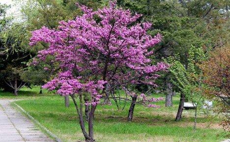 Ландшафтный дизайн участка украсит чудное Иудино дерево