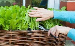 Выращивание листового салата на подоконнике