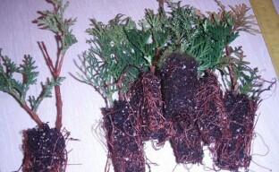 Самостоятельное выращивание саженцев туи