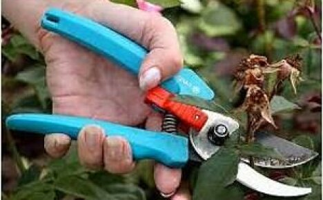 Обрезка крыжовника после сбора урожая