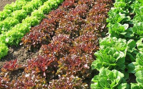 Как получить хороший урожай салата