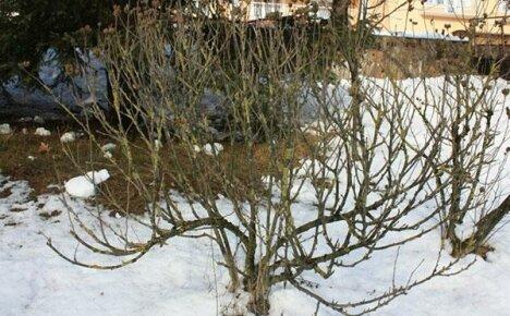 Особенности подготовки сирийского гибискуса к зиме