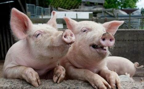 Африканская чума и другие болезни свиней