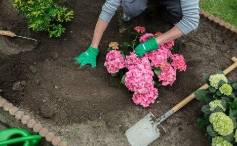 Пышноцветущая гортензия в вашем саду: выбираем время и место посадки