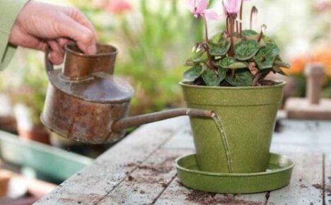 Как поливать цикламен: важные нюансы для цветоводов