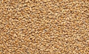 Польза «пшеничного молочка»