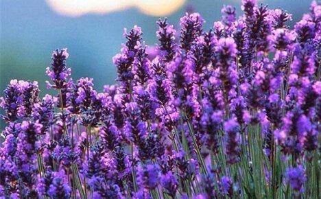 Пусть в вашем саду появится лаванда, выращенная из семян