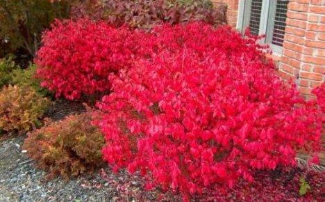 Осеннее украшение сада бересклет крылатый компактус