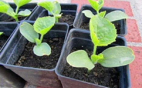Выращивание рассады дынь для открытого грунта