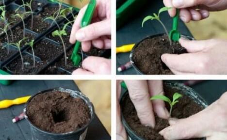 Как пикировать томаты — сроки и особенности процедуры