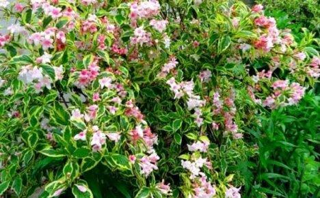 Популярные сорта вейгелы для вашего сада