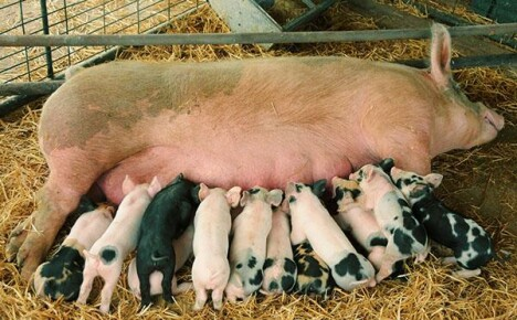 Разведение свиней в условиях личного подворья