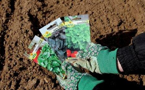 Посев базилика в открытый грунт весной — когда можно сеять семена?