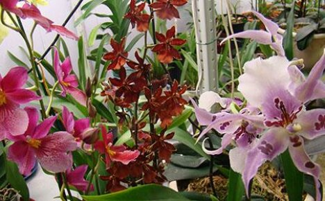 Неприхотливый гибрид орхидеи Камбрия
