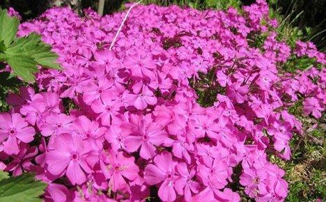 Чем болеют флоксы и как лечить растения