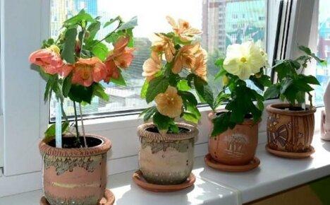 Сажаем абутилон правильно: как выбрать подходящий горшок и почву