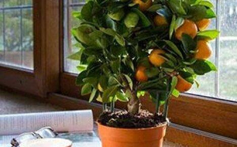 Особенности выращивания дома каламондина