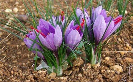 Посадка крокусов разных сроков цветения в открытый грунт