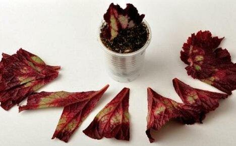 Пошаговые рекомендации по размножению бегонии листом в домашних условиях