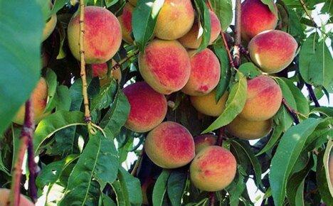 Эффективное выращивание персика