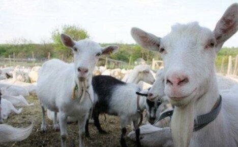 В козоводстве важно определить кормовую базу для коз