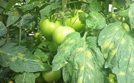Важно знать болезни томата в лицо, чтобы своевременно оказать растению помощь