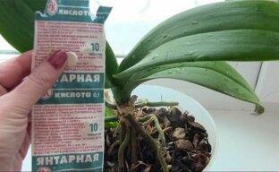 Зеленая аптека для орхидей – янтарная кислота