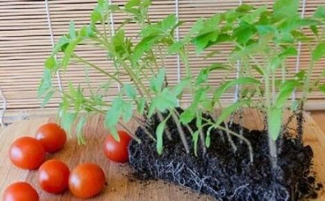 Сроки и правила высаживания рассады помидор в открытый грунт