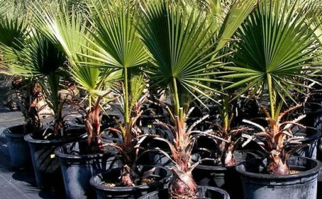 Выращивание пальмы в домашних условиях: изучаем все тонкости непростого ремесла