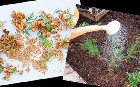 Выращивание туи из семян — это интересно