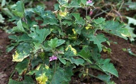 Пожелтение листвы у баклажан — причины и меры борьбы с ним