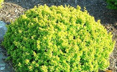 Удивительной красоты кустарник барбарис в вашем саду