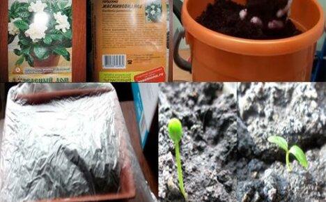 Как вырастить гардению из семян?