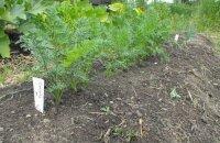 Как посадить морковь, чтобы не прореживать: 4 лучших способа