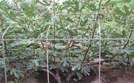 Что нужно знать, выращивая инжир в саду?