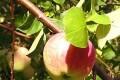 Болезни яблонь на фото и способы их лечения