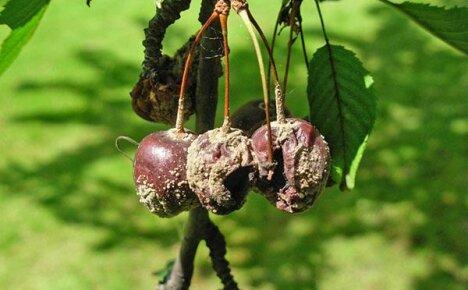 Как лечить монилиоз вишни, чтобы сохранить урожай и дерево?