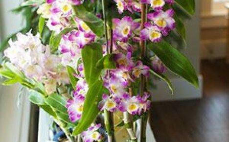 Чтобы орхидея Дендробиум порадовала цветением, учимся ухаживать за ней